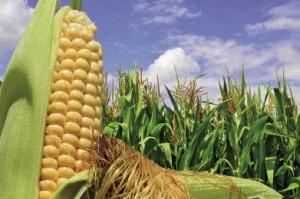 Kukurydza znową zaprawą