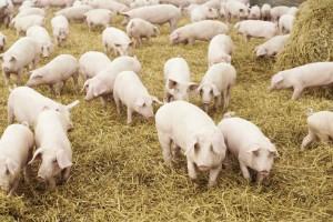 Polak wseparacji ze świnią?