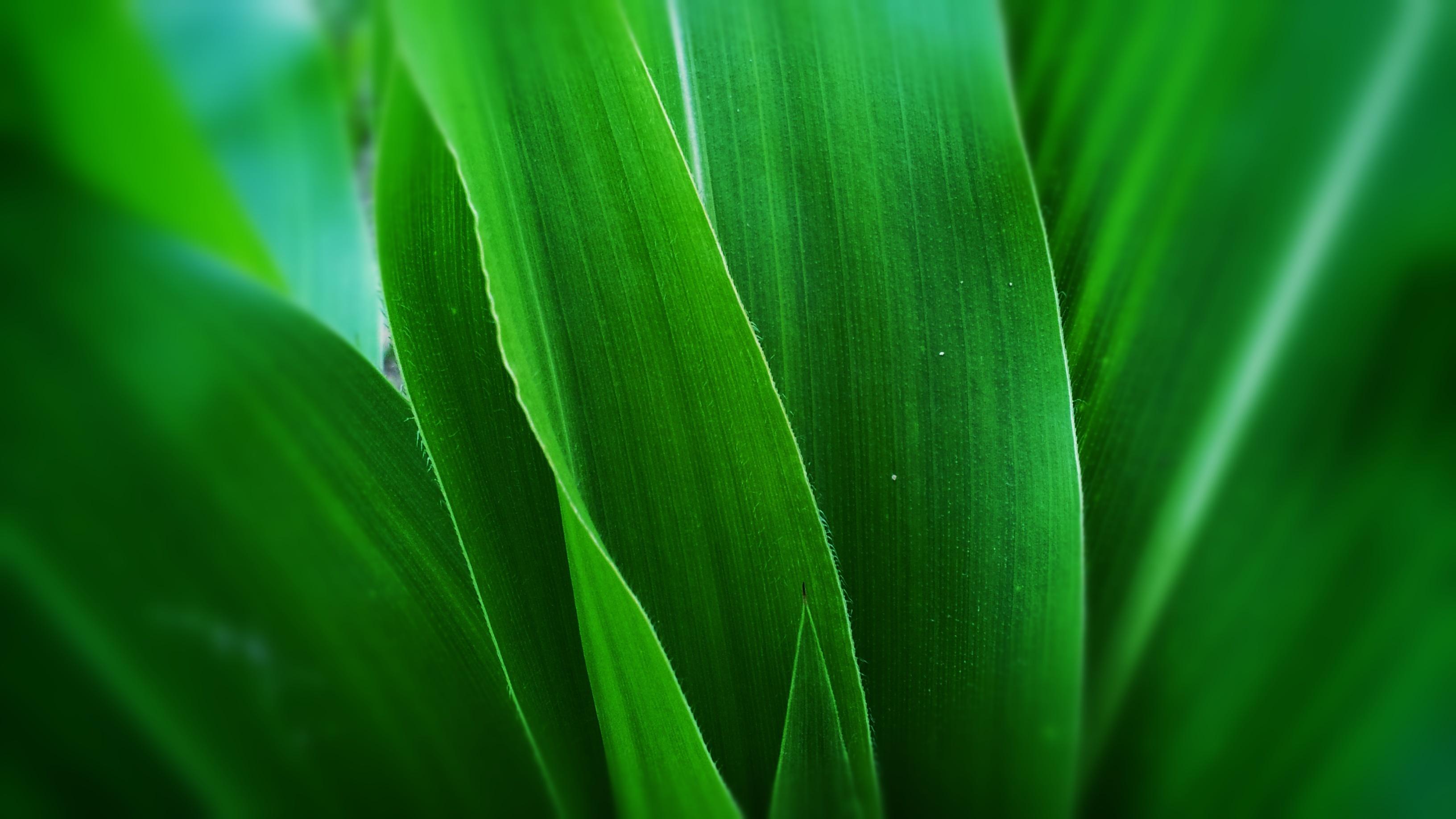Kukurydza – słoneczne ziarno zdrowia