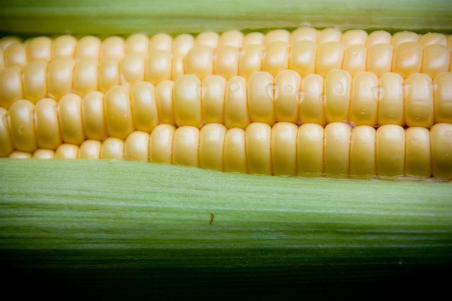 Uprawa kukurydzy według firmy Syngenta
