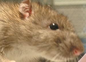 Szczur – ciągle śmiertelnym wrogiem człowieka