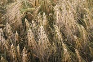 Rola postępu biologicznego dla współczesnego rolnika