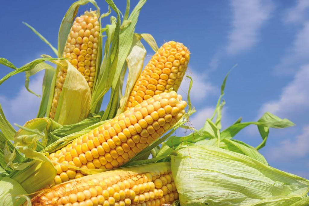 Kukurydza  jest coraz ważniejsza