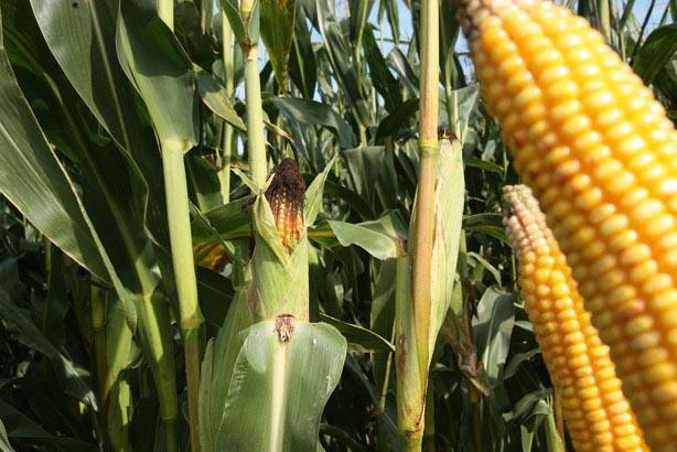 Rekordowa liczba odmian kukurydzy w Krajowym Rejestrze. Jak wybrać optymalną odmianę do uprawy w nowym sezonie?